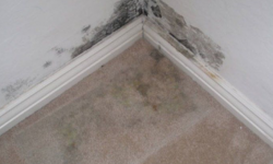 Black mold from water damage